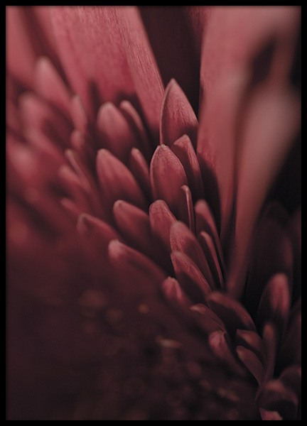 Burgundy Flower Close Up Plakat i gruppen Plakater / Botaniske hos Desenio AB (11188)