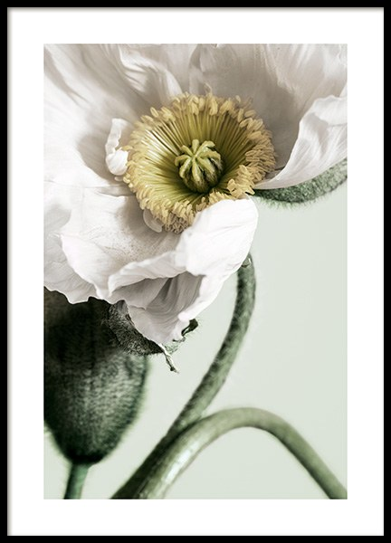 White Poppy Close Up Plakat i gruppen Plakater / Botaniske hos Desenio AB (12319)