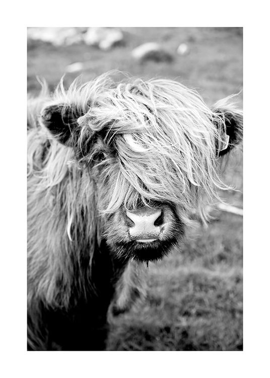 Portrait of Highland Cattle Plakat / Insekter & dyr hos Desenio AB (11485)